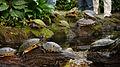 Turtles, Botanic Garden Munich.jpg
