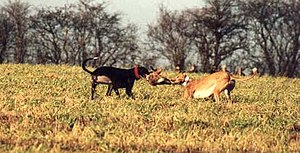 Blood sport - A hare caught by two greyhounds.