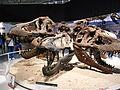 Tyrannosaurus skulls Japan.jpg
