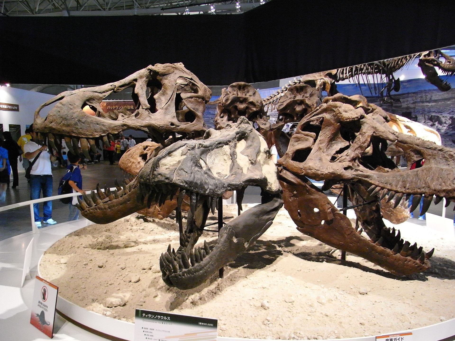 Crânes de Tyrannosaures