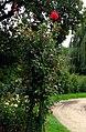 Uetersen rosarium unbekannte rose.JPG