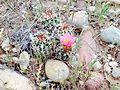 Uinta Basin Hookless Cactus (Sclerocatus wetlandicus) (16796054030).jpg
