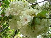 Bunga Sakura Ukon (Prunus lannesiana Wilson cv. Grandiflora)