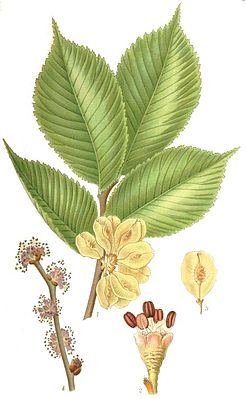 Berg-Ulme (Ulmus glabra), Illustration