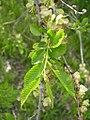 Ulmus parvifolia-5-01-05.jpg