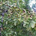 Ulmus parvifolia leaves and fruit.jpg