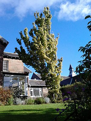 Ulmus × hollandica 'Wredei' - Image: Ulmus x hollandica 'Wredei' Morningside Road, Edinburgh (1)