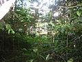 Uma das Espécies de Árvore da amazonica, Brasil.JPG