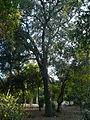 Una alzina als jardins de Can Sentmenat P1510544.jpg