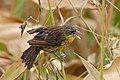 Unicoloured Cowbird (Agelasticus cyanopus) female (29143612842).jpg