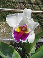 Unid orchid10a.JPG