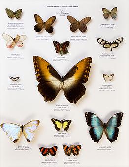 Université de Rennes 1, collection Charles Oberthür, papillons, région néotropicale, boîte 1.jpg