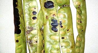 Honey locust - Unripe honey locust pods