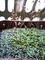 Utricularia subulata2.jpg