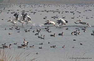 Patna Bird Sanctuary - Rosy pelican, greylag goose, bar-headed goose