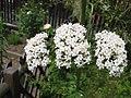 Valeriana officinalis (Flower) 1.jpg