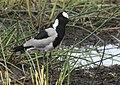 Vanellus armatus -Kenya-8.jpg