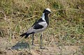 Vanellus armatus -near Kwara Camp, North-West District, Botswana-8.jpg