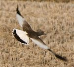 Vanellus cinereus Flight.JPG