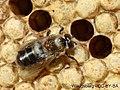 Varroa-phoretique.jpg