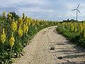 Verbascum speciosum sl39.jpg