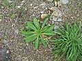 Verbascum virgatum plant8 (16377952782).jpg