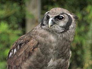 Verreaux's eagle-owl - At San Diego Zoo