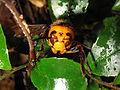 Vespa mandarinia japonica IMG 0197.JPG