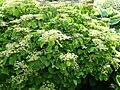 Viburnum dilatatum 'Oneida'.jpg