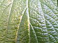 Viburnum rhytidophyllum (9).JPG