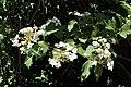 Viburnum sargentii kz01.jpg