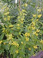 Vincetoxicum sp. Yunnan Xianggelila, Napahai - Flickr - peganum.jpg