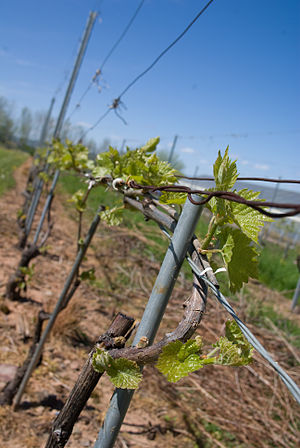 L'Acadie blanc - A young L'Acadie blanc vine being trained.