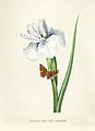 Vintage Flower illustration by Pierre-Joseph Redouté, digitally enhanced by rawpixel 12.jpg