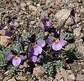 Viola beckwithii 4.jpg