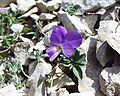 Viola cenisia16072002fleur.JPG
