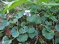 Viola hederacea plant14 - Flickr - Macleay Grass Man.jpg