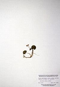 Viola macloskeyi BW-1979-0430-0740.jpg