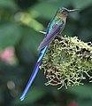 Violet-tailed sylph (32885148997).jpg
