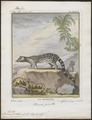 Viverra pardina - 1700-1880 - Print - Iconographia Zoologica - Special Collections University of Amsterdam - UBA01 IZ22400047.tif
