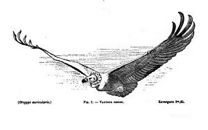 Louis Pierre Mouillard - Image: Vulture Mouillard