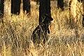 Wallabia bicolor (32489140236).jpg