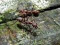 Weaver Ants (Oecophylla smaragdina) (6749579803).jpg