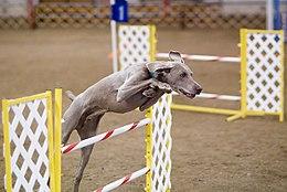 Weimaraner agility jump.jpg