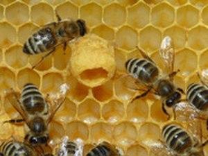 Queen bee - A queen cup
