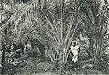 Westafrikanische Nutzpflanzen (Busse) - Tafel 25 - Junge Ölpalmen.jpg