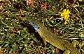 Western Green Lizard (Lacerta bilineata) (36289707231).jpg