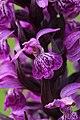 Western Marsh Orchid - Dactylorhiza majalis (14724173212).jpg