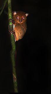 Horsfields tarsier