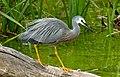 White-faced heron.(Egretta novaehollandiae) (33828171390).jpg